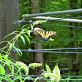 Tiger Swallowtail Butterfly by Lisa Wooten