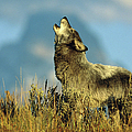 Timber Wolf Canis Lupus, Adult Howling by Tom Vezo/ Minden Pictures