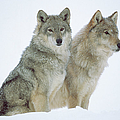 Timber Wolf Canis Lupus Portrait Of by Tim Fitzharris/ Minden Pictures
