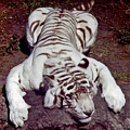Tired - Tiger by D Hackett