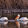 To Pelicans Trolling For Fish by Jeff Swan