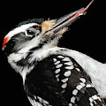 Tongue Of Woodpecker by Debbie Stahre
