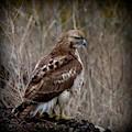 Totem Animal Book Hawk by Laura Atkinson