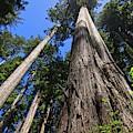 Towering Redwoods by Paul Rebmann