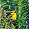 Townsend's Warbler  by Christy Pooschke