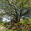 Tree At Dolwyddelan Castle In Wales  by John McGraw