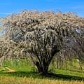 Tree Celebration by Allen Nice-Webb