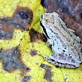 Tree Frog On Yellow Leaf by Nick Gustafson