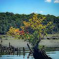 Tree In Mallows Bay by Lora J Wilson