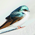 Tree Swallow by Regina Geoghan