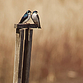 Tree Swallows On Wood Post by Jody Trappe Photography