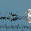 Tricolored Herons And American White Pelicans by Ken Stampfer