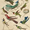 Trochilus - Hummingbirds by William Davis