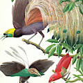 Tropical Birds Of Paradise by English School