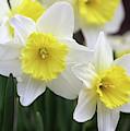 Trumpets Of Spring by Karen Adams