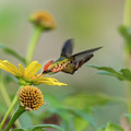Tufted Coquette Feeds On Sunflowers by Rachel Lee Young