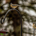 Tufted Titmouse Pair by Onyonet  Photo Studios