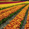 Tulip Bulb Farm by Garry Gay