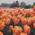 Tulip Farm by Dylan Punke