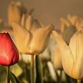Tulip Field by Anjo ten Kate