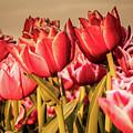 Tulip Fields by Anjo Ten Kate