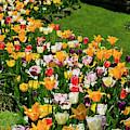 Tulip Flower Garden In A Springtime Yard by Jill Lang