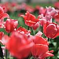 Tulip Garden by Mike Murdock