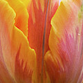 Tulip Prinses Irene Flower Close Up by Tim Gainey