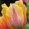 Tulip Prinses Irene Flower by Tim Gainey