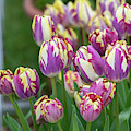 Tulip Striped Sail Flowers by Tim Gainey