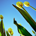 Tulips Holland Michigan 944 by Evie Carrier