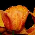 Tulips On A Black Background by Karen Silvestri
