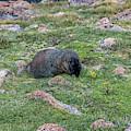 Tundra Rat by Jon Burch Photography