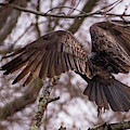 Turkey Vulture Wings Taking Off In The Rain by Terry DeLuco