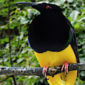 Twelve-wired Bird-of-paradise by Arterra Picture Library
