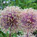 Two Allium Flowers by Les Palenik