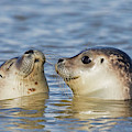 Two Common Seals by Arterra Picture Library