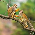 Two Common Squirrel Monkeys Saimiri by Nick Fox