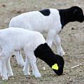 Two Little Lambs by Kae Cheatham