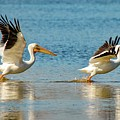 Two Pelicans Taking Off by Susan Rydberg