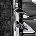 Two Pigeons by Borja Robles