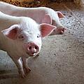 Two Pigs by Shinichi.imanaka