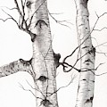 Two Wild Birch Trees In Watercolor by Christopher Shellhammer