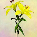 Two Yellow Lilies Opened by Susan Savad