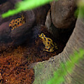 Two Yellow Poison Dart Frogs by Chris Flees