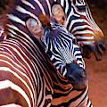 Two Zebras By Olena Art by OLena Art