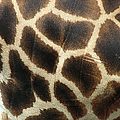 Uganda, Baringo Or Rothschilds Giraffe by Zssd/ Minden Pictures