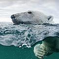 Underwater Polar Bear In Hudson Bay by Paul Souders