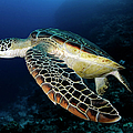 Underwater Turtle Swimming by Extreme-photographer