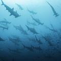 Underwater View Of Scalloped Hammerhead by Wildestanimal